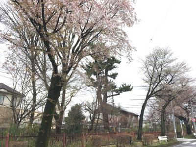 sakura-202103-2.jpg